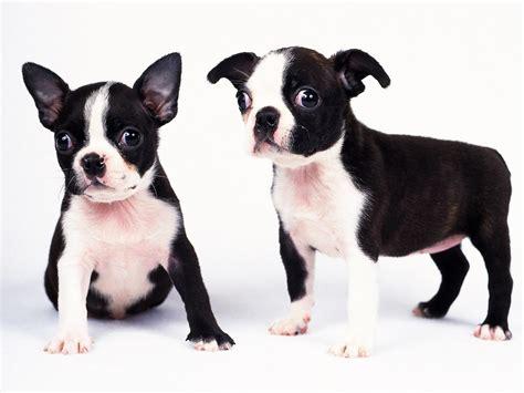 puppy black and white black and white wallpaper wallpapersafari
