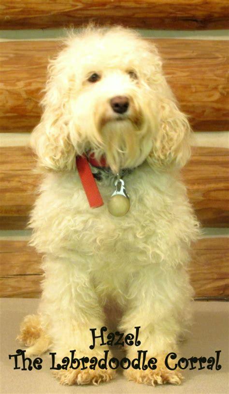 labradoodle puppies for sale in wi wausau labradoodle breeder the labradoodle corral wisconsin