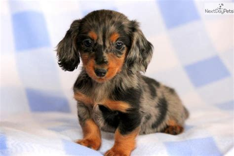 mini doxie puppies for sale dachshund mini puppy for sale near lancaster pennsylvania 82287d5a 9a71