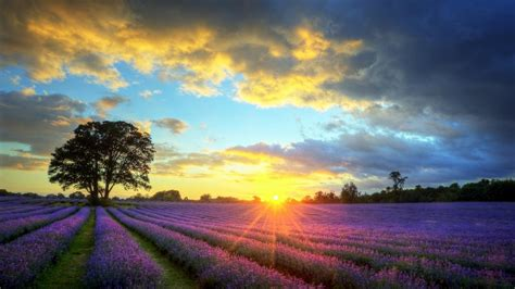 lavender field sunset wallpaper