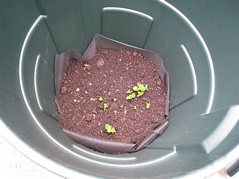 piantare patate in vaso e tempo di piantare le patate 232 semplice farlo in vaso