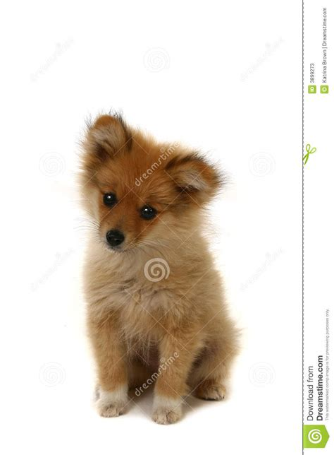 sad pomeranian sad looking pomeranian puppy stock photos image 3899273