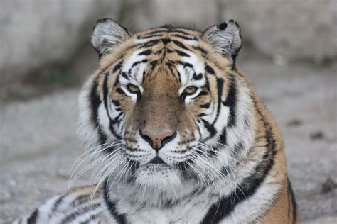tiger sitting  brown logs closeup photography