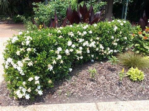 gardenia hedge   thinking