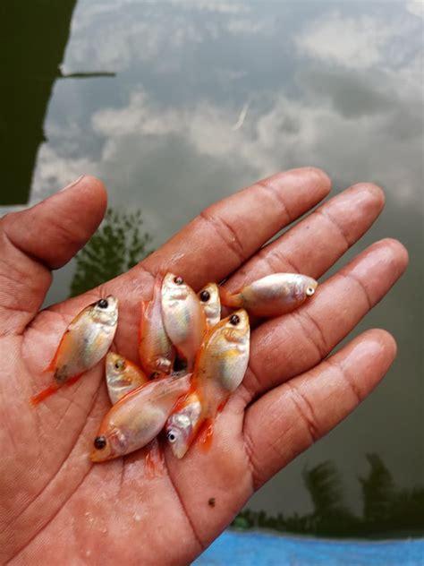 Jual Bibit Ikan Nila 2017 jual bibit ikan air tawar gurame nila patin ikan dan