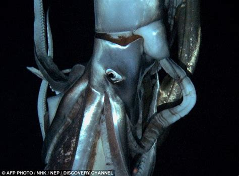 film giant squid scientists film elusive giant squid for first time