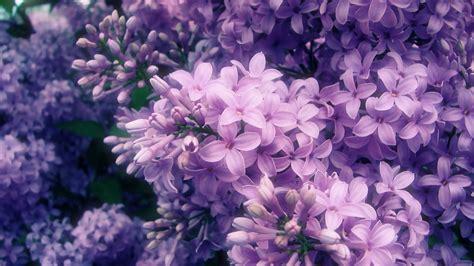 lilac flower single lilac flower wallpaper