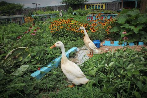 successfully managing ducks in the garden backyard