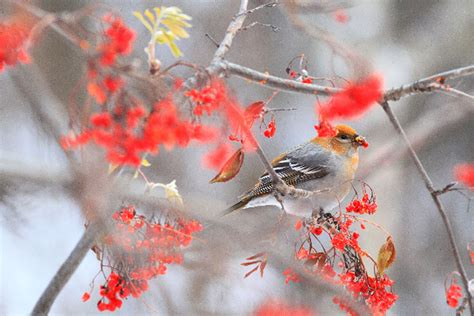 christmas welcome birds cheery chirpy bird count the of the kenai