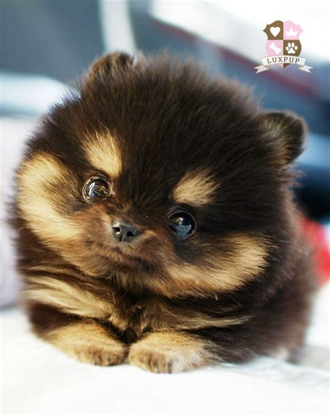 how much is a teacup pomeranian pomeranian