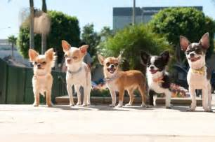 Akc teacup puppies for sale heather rivera lovebug chihuahuas