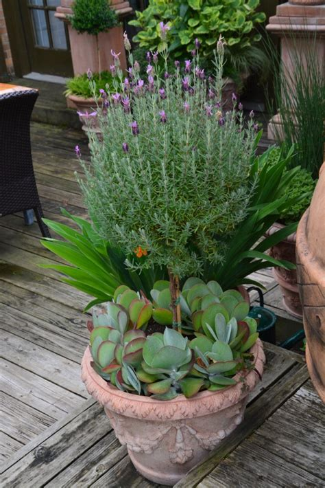 lavender container garden lavender underplanted with succulents garden container