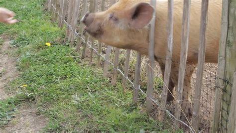 pigs on a farm yard location stonall uk source canon