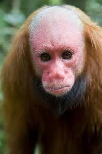 1331756 a bald headed uakari monkey stares at the camera