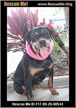 soul rottweiler rescue florida rottweiler rescue adoptions rescueme org