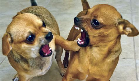 for aggressive dogs 10 small aggressive breeds that can be dangerous