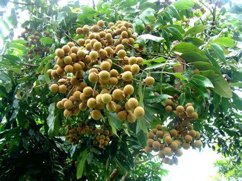 kandungan gizi  manfaat buah kelengkeng