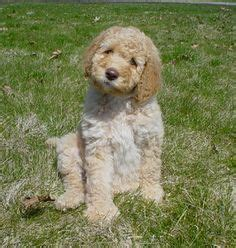 labradoodle puppies in pa labradoodle preloved 2nd generation labradoodles for sale in thetford