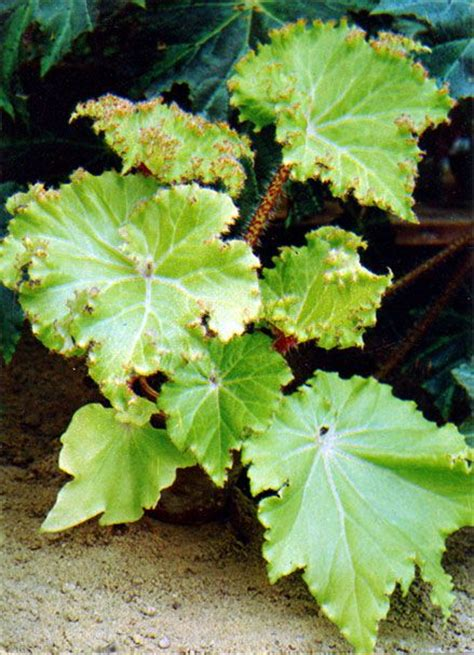 foliage plants indoor 250 best images about begonias on gardens