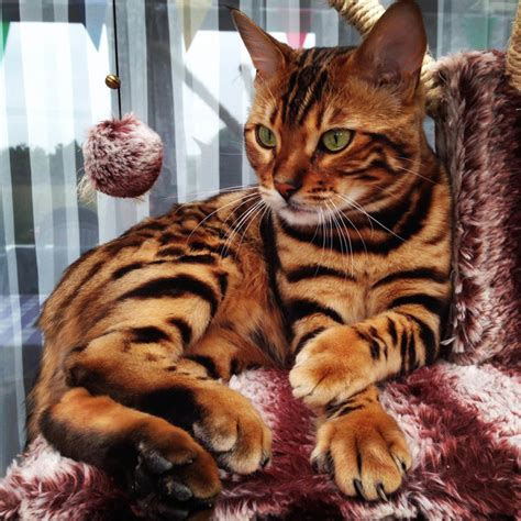 bengal house cat this striped and spotted cat s fur is mesmerizing the internet huffpost