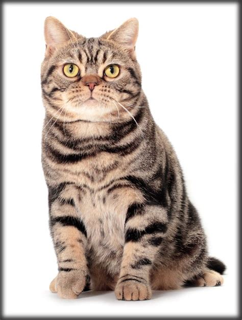Do Shorthair Cats Shed by Who S That Cat The American Shorthair Born In The Usa