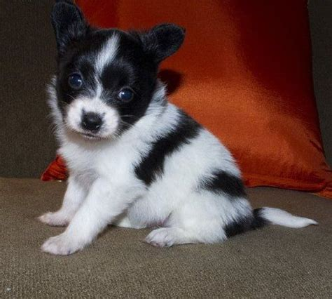 puppies for sale in island best 25 papillon puppies for sale ideas on papillon papillon puppies