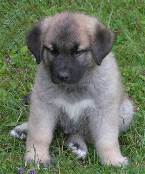 st bernard australian shepherd mix puppies for sale 24 best images about on
