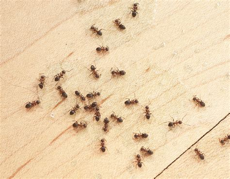 12 Simple Ways To Control Little Ants Tiny House Ants