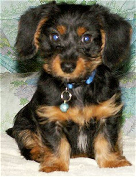 yorkie x dachshund 25 best ideas about teacup dachshund on baby dachshund wiener dogs and