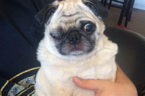 pug help fundraiser by donahue help save pug winston s eyesight