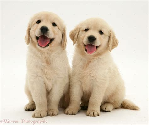 two puppies dogs two golden retriever pups sitting photo wp14084