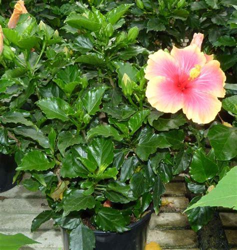 hibiscus fiore ibisco hibiscus famiglia malvaceae coltivazione e