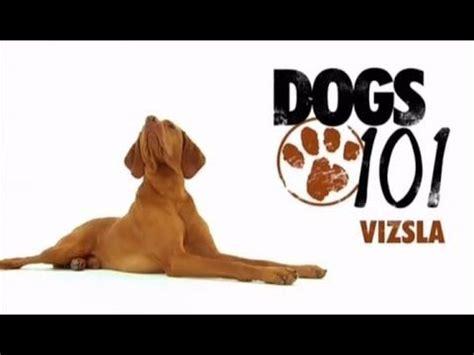 dogs 101 vizsla 385 best images about vizsla on puppys kinds of dogs and beds