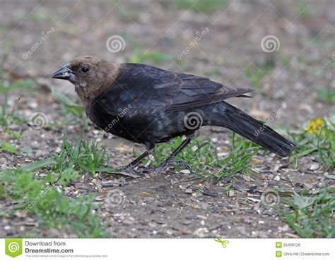 brown headed cowbird royalty free stock image image
