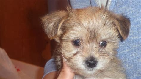 lhasa apso puppies for sale in pa yorkie apso hybrid puppies lhasa apso for sale breeds picture