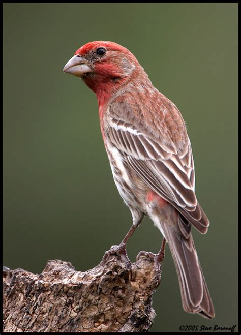 house finch male and female house finch female birding pinterest finches and house