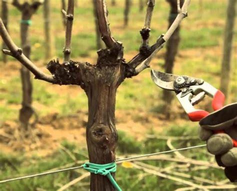 potare uva da tavola potatura vite da tavola idee per la casa douglasfalls
