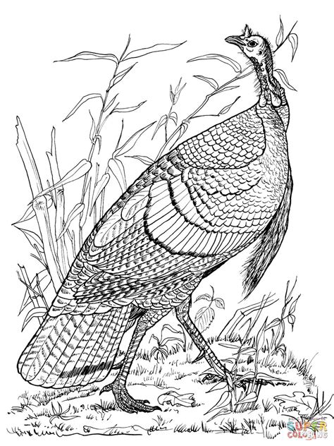 coloring page wild turkey wild turkey hen coloring page free printable coloring pages
