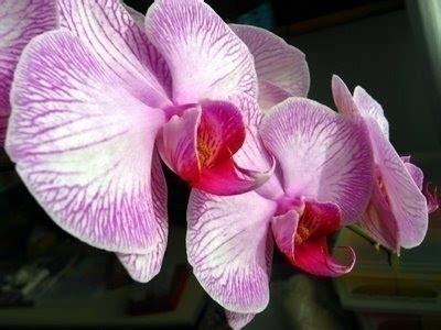 orchidea significato fiore significato fiori orchidee bianche regalare piante