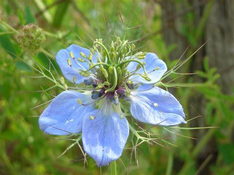 fiore azzurro fiore azzurro ovvero quot scilla quot foto immagini