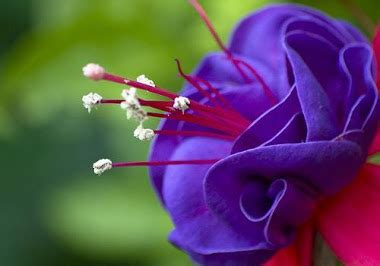 wallpaper bunga violet violet klatenia rahasia falsafah bunga
