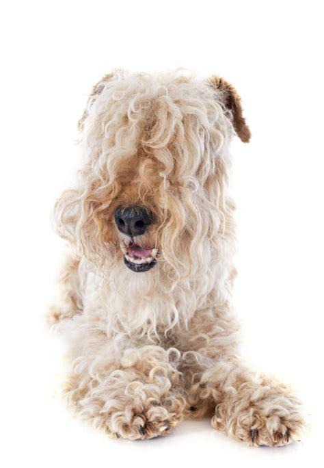 photos of lakeland terriors hair styles lakeland terrier dogs breed information omlet