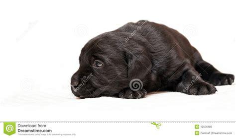 3 week lab puppies black labrador retriever puppy age 3 weeks royalty free stock photo image 12576185