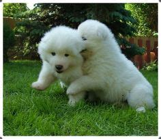 samoyed puppies for sale michigan 1000 images about samoyeds for sale on samoyed puppies for sale samoyed