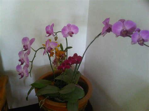 Jual Pot Anggrek Gantung tanaman anggrek phalaenopsis pink jual tanaman hias
