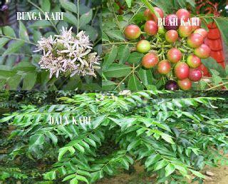Bibit Tanaman Pohon Kari Salam Koja 44 best images about spice trees on javanese benefit of lemon and flower