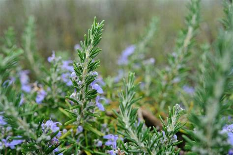 rosemary your practical grow guide gardenersworld com