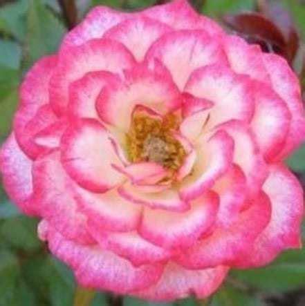Tanaman Mawar Pink Carousel jual tanaman mawar pink carousel bibit