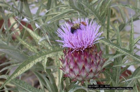 plantfiles pictures cardoon artichoke thistle cynara