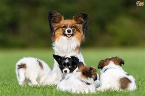 top facts   papillon dog breed petshomes